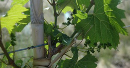 Spring turns to summer in Mendoza – 2011/12 growing season, the story so far